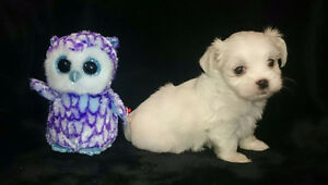 MALTESE PUPPIES !! REDUCED PRICE!!