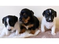 Beautiful Tri-Colour Jack Russell Puppies