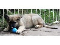 Vitahund German Shepherd 14 week old puppies (2 available) £850 each