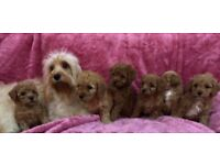 Cavapoo puppies poodle x puppy red apricot PRA toy small dog bitch