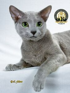 Looking for a Russian Blue Kitten!!!
