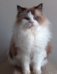 Sweet Ragdolls looking for forever homes