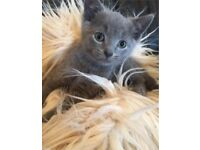 Russian blue kittens ready now