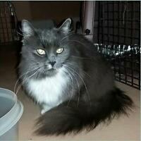 "Adult Female Cat - Domestic Short Hair: ""Sweetpea"""