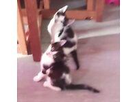 2 black & white male kittens