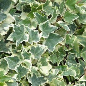"Ivy in 15cm pot Large 5"" Leaves Cream edges"