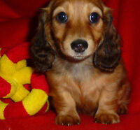 Beautiful Mini Dachshund Female Puppy