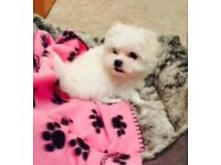 Stunning Toy Maltese KC Puppies champion lines