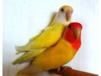 Yellow Peach Faced Love Birds