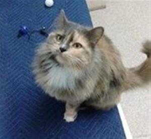 "Adult Female Cat - Domestic Long Hair: ""Dixie"""