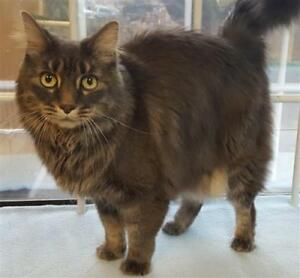 "Adult Female Cat - Domestic Long Hair: ""Katie"""