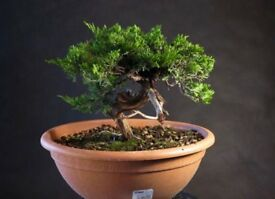 Shohin Sabina Juniper ready for styling