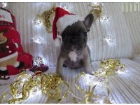 blue and tan french bulldog puppy £1500