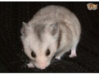 Beautiful Grey Male Hamster 16 Weeks & 80cm Cage
