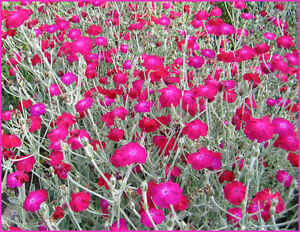 ROSE CHAMPION  - Lychnis Coronaria - 1100 SEEDS - PERENNIAL FLOWER