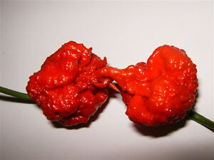 Carolina-Reaper-Pepper-5-seeds-FREE-U-S-A-SHIPPING
