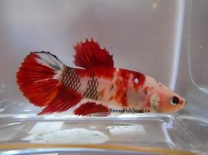 Koi & Black Dragon Halfmoon Plakat Betta Fish (Males & Females)