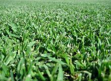 Soft Leaf Buffalo &Kikuyu Lawn/Turf... Windsor Hawkesbury Area Preview