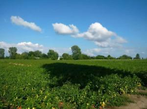 35 acres of prime veggie farm land in Chatham, Ontario.