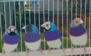 Gouldian Finches ! adults and babies