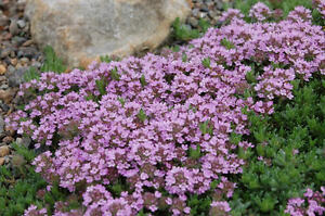 THYME - PURPLE CREEPING - 0.3 Gm Approx 2100 SEEDS - THYMUS SERPYLLUM
