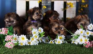 Yorkie/Shih-tzu Cross Puppies