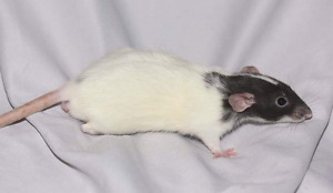 5 baby male rats for adoption
