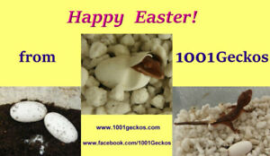 Hand-Raised Geckos are ready for Easter!!!