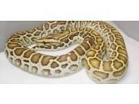 Hypo female Burmese python