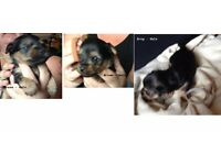 Mini Yorkie Pups for sale £495 each