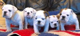 Ready Now KC REG Bulldog Pups