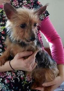 """Adult Female Dog - Silky Terrier: """"Patty"""""""