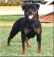 Looking for an adult or rottweiler puppy