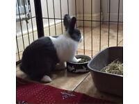 Cute tiny Dutch male bunny