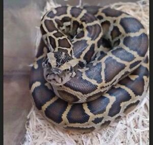 Baby Burmese Python