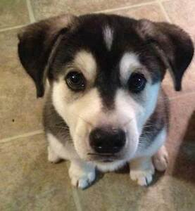 Looking for a husky/lab mix (or other lab mix)!