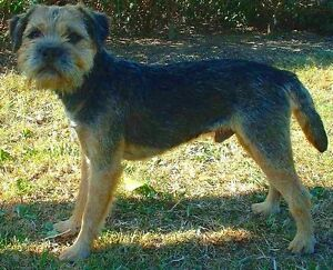 Border Terrier Dog wanted