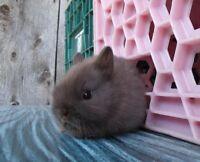 Bébés lapins mâles et femelles Nain Polonais