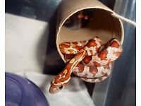 Corn snake with starter pack £55 bargain delivery