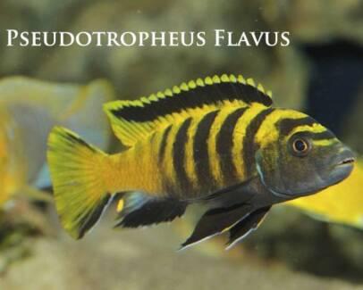 Pseudotropheus Flavus......rarer African Cichlid. Ormeau Gold Coast North Preview