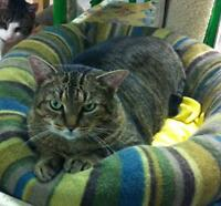 "Adult Female Cat - Tabby: ""Amelie"""