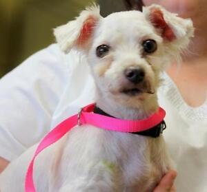 "Senior Female Dog - Maltese-Bichon Frise: ""CiCi"""