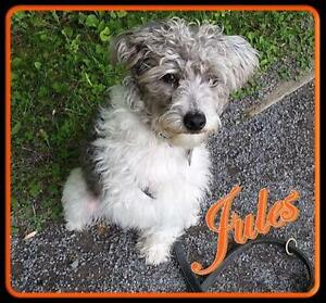 "Young Male Dog - Poodle-Chinese Crested Dog: ""Jules"""