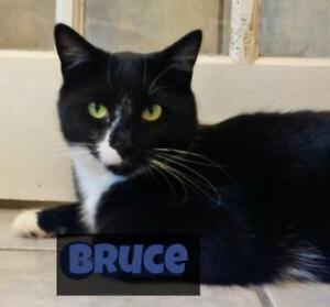 "Adult Male Cat - Domestic Short Hair (Black & White): ""Bruce"""