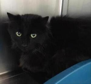 """Adult Male Cat - Domestic Medium Hair: """"Tommy"""""""