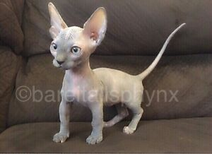 ***Beautiful Sphynx, elf's, and Bambino's***Last baby reduced
