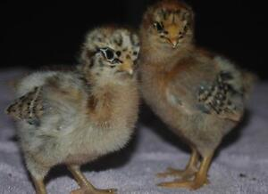 Canadian winter resistant Chantecler mix baby chicks