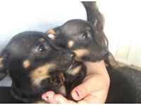 Two male Chihuahuas for sale