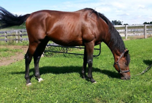 Thoroughbred Stallion for sale