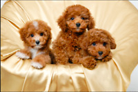 LOOKING FOR A HYPOALLERGENIC PUPPY